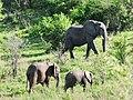 African Elephant (3075404853).jpg