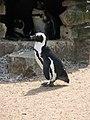 African Penguins (540060118).jpg