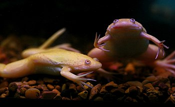 English: African clawed frogs; Xenopus laevis