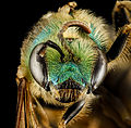 Agapostemon virescens (head) - USGS Bee Inventory and Monitoring Laboratory.jpg