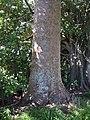 Agathis robusta (F.Muell.) F.M.Bailey (AM AK297417-2).jpg