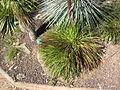 Agave geminiflora.jpg