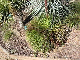 <i>Agave geminiflora</i> species of plant