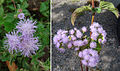 Ageratum conyzoides, the invasive Billygoat Weed (9203987647).jpg