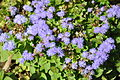 Ageratum mexicanum Bluemink, Floss Flower ციცინო.JPG
