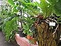 Aglaomorpha novoguineensis - Berlin Botanical Garden - IMG 8688.JPG