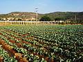 Agricultura Michoacán.jpg
