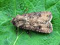 Agrotis segetum (Noctuidae) (Turnip Moth), Tricht, the Netherlands.jpg