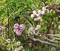 Akebia quinata (flower).jpg