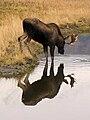 Alaskan moose drinking.jpg