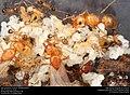 Alate ant queens on brood (Pheidole dentata) (41317174045).jpg