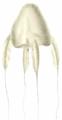 Alatina-alata-reynaud-1830.png