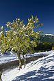 Alberi in fiore e neve - panoramio.jpg