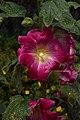 Alcea rosea A.jpg