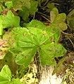 Alchemilla acutiloba leaf (14).jpg