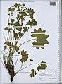Alchemilla monticola herbarium (02).jpg