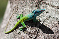 Allisons anole.jpg