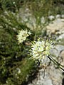 Allium ericetorum sl6.jpg