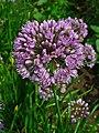 Allium lusitanicum 002.JPG