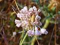 Allium paniculatum Enfoque 2011-6-11 CampodeCalatrava.jpg