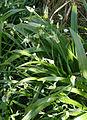 Allium paradoxum 4.jpg
