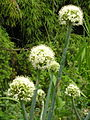 Allium pskemense.jpg