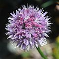 Allium schoenoprasum var. orientale (flower).JPG