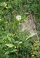 Allium victorialis 001.jpg