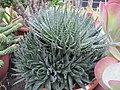 Aloe (6323560313).jpg