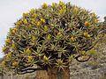 Aloe dichotoma05.jpg