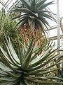 Aloe ferox BotGardBln271207B.jpg
