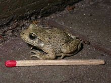 Crapaud accoucheur wiktionnaire for Portent wiktionary