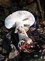 Amanita excelsa possibly (34718575685).jpg
