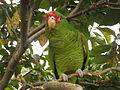 Amazona pretrei -Rio Grande do Sul -Brazil-8c.jpg