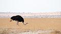 Amboseli Ostrich (Kenya, Day 1).jpg