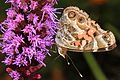 American Lady - Vanessa virginiensis, Meadowood Farm SRMA, Mason Neck, Virginia - 28375538665.jpg