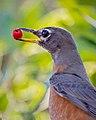 American Robin with a berry, Lake Los Carneros, California (50824991632).jpg