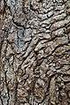 American Sweetgum Liquidambar styraciflua Bark Closeup.JPG