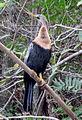 Amerikanischer Schlangenhalsvogel.jpg