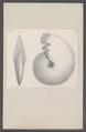 Ammonites spec. - - Print - Iconographia Zoologica - Special Collections University of Amsterdam - UBAINV0274 091 01 0025.tif