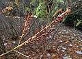 Amorpha californica kz01.jpg