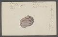 Ampullaria fasciata - - Print - Iconographia Zoologica - Special Collections University of Amsterdam - UBAINV0274 083 02 0007.tif