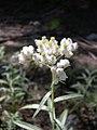 Anaphalis margaritacea-7-22-04.jpg