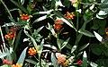 Anartia amathea - Asclepias curassavica - Schmetterlinghaus Burggarten Wien 02.jpg
