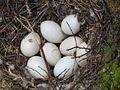 Anas clypeata nest.jpg