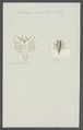 Anceus maxillaris - - Print - Iconographia Zoologica - Special Collections University of Amsterdam - UBAINV0274 098 13 0006.tif