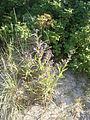 Anchusa officinalis 16-06-2006 20.06.38.JPG