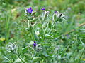 Anchusa officinalis 20060810 003.jpg