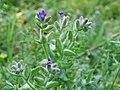 Anchusa officinalis 20060810 003.jpg