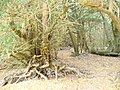 Ancient Yew Woodland - geograph.org.uk - 1397138.jpg